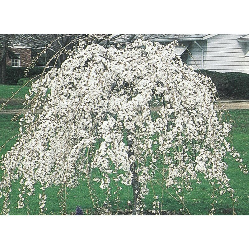 Large Of Snow Fountain Weeping Cherry