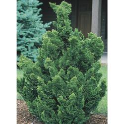 Small Of Slender Hinoki Cypress