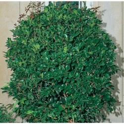 Posh Fragrant Tea Olive Screening Shrub Shop Screening Shrubs At Tea Olive Tree Potted Tea Olive Tree S
