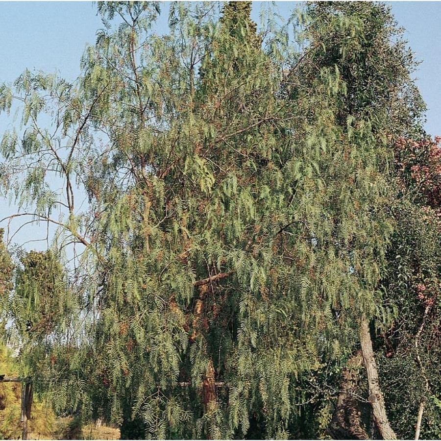 Fullsize Of California Pepper Tree