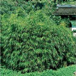 Rummy Alphonse Karr Bamboo Accent Shrub Shop Alphonse Karr Bamboo Accent Shrub At Alphonse Karr Bamboo Sale Alphonse Karr Bamboo Sydney