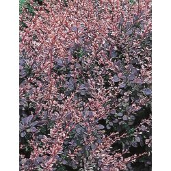 Small Crop Of Rose Glow Barberry
