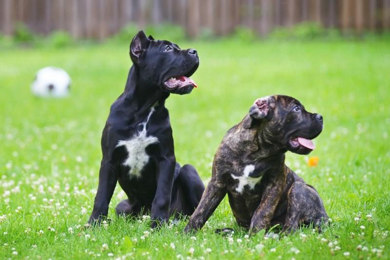Large Of Brindle Dog Breeds