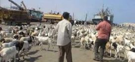 الجفاف يقلص أعداد المواشي ويضاعف أسعارها في الصومال