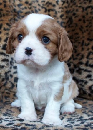 Blenheim Cavalier King Charles Spaniel Puppies