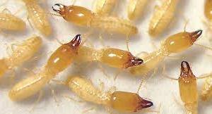 شركة-مكافحة-النمل-الابيض-بالجبيل
