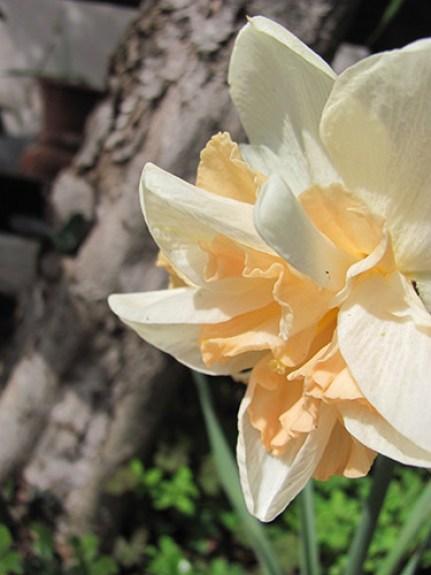 Pretty peach daffodil