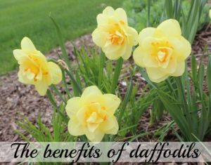 The benefits of daffodils