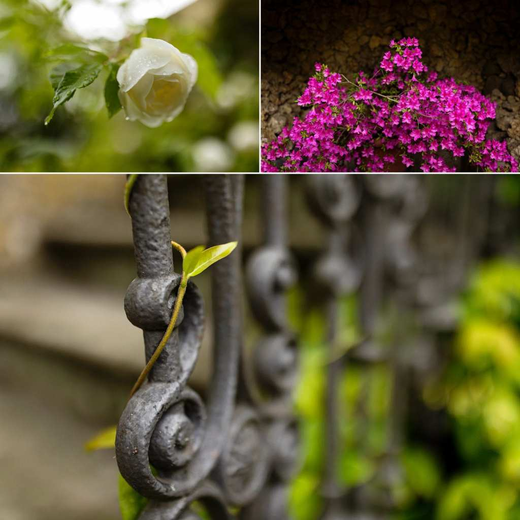 collage of rose blossom vibrant fuchsia flowers and ivy creeping around iron gate post at villa in Florence