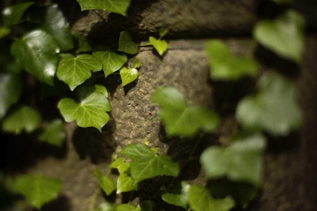green ivy on beige stone wall at Italian villa