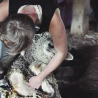 Shave and a haircut :: Shearing the sheep