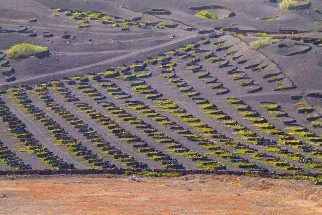 vignoble dans une terre volcanique