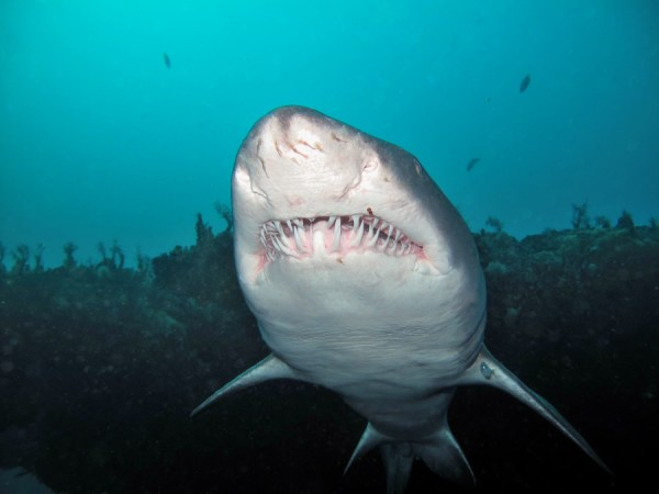 Shark diving in South Africa with Ragged Tooth sharks in Aliwal Shoal