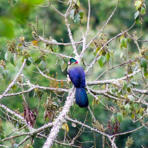Turaco, a bird endemic to Nyungwe Forest in Rwanda