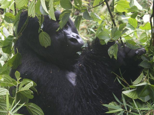 Guhonda, the largest and oldest silverback in Volcanoes National Park, Rwanda