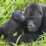 Primate Safari in Rwanda:  My Dream Trip
