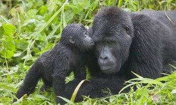 gorilla baby kissing mom