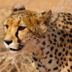 Namibia:  The Cheetah Capital of the World