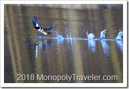 Hooded Merganser drake taking off