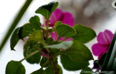An Impatiens Plant in Flower