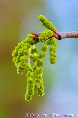 Flowers of an Oak Tree