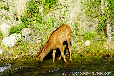 Elk fawn drinking from the Gardner River
