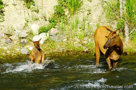Elk fawn struggling in the rushing Gardner River
