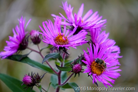 Purple Asters beeing pollinated