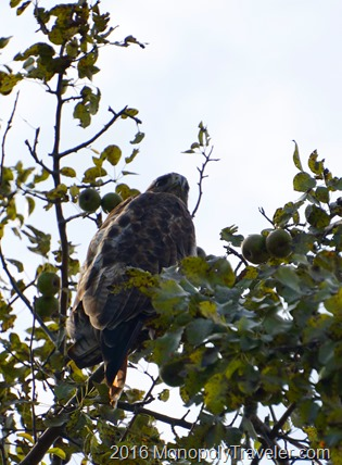 Being watched from above by a red tailed hawk