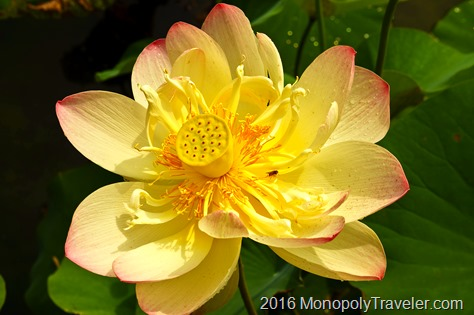 Water lotus in bloom