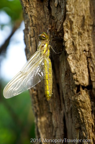 A dragonfly emerging from it previous form