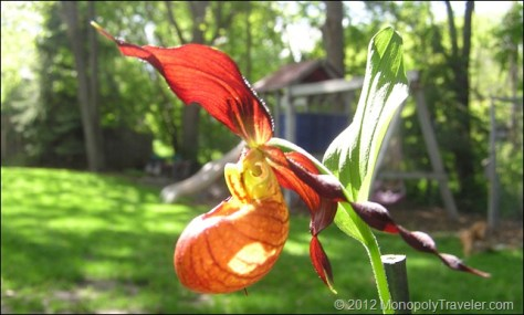 A Dark Flowered Lady Slipper