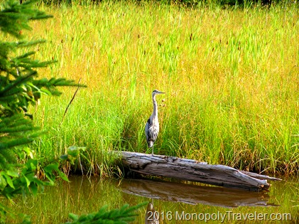 Great Blue Heron on Isle Royale