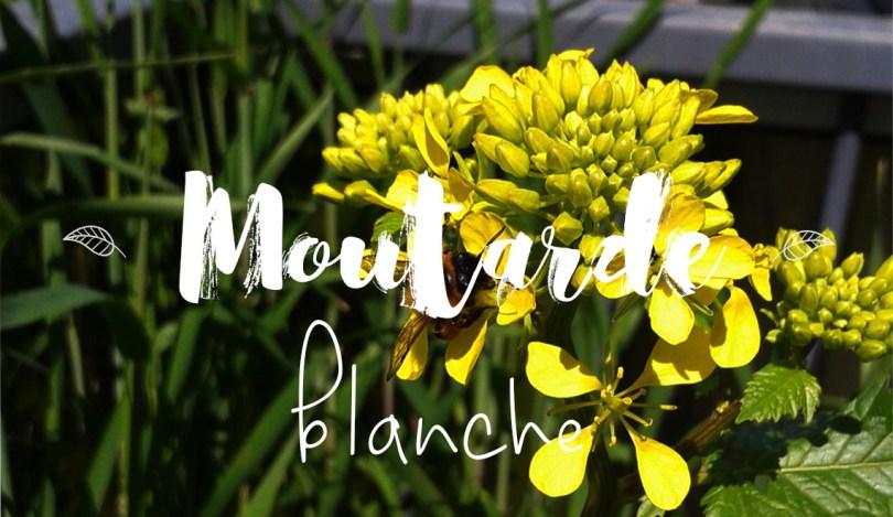 Faire pousser de la moutarde blanche au potager sur balcon, plante mellifère
