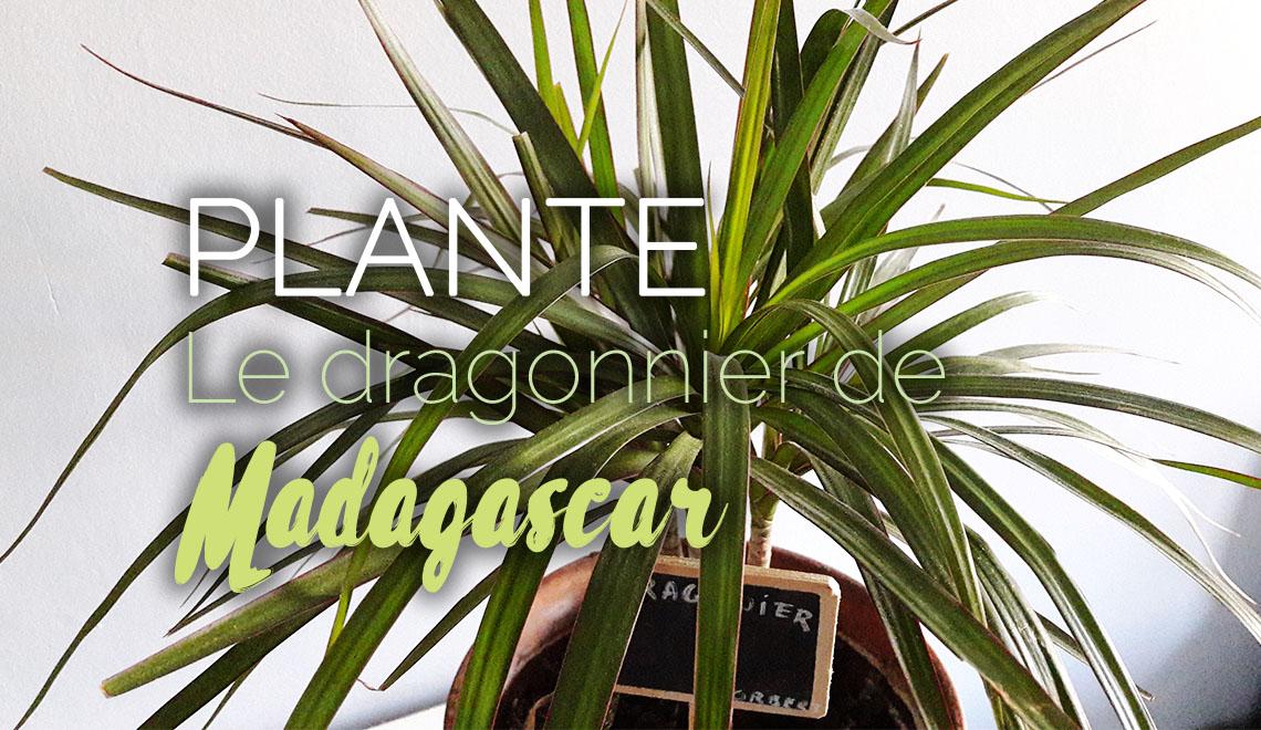 Dragonnier de Madagascar plante dépolluante en appartementDragonnier de Madagascar plante dépolluante en appartement