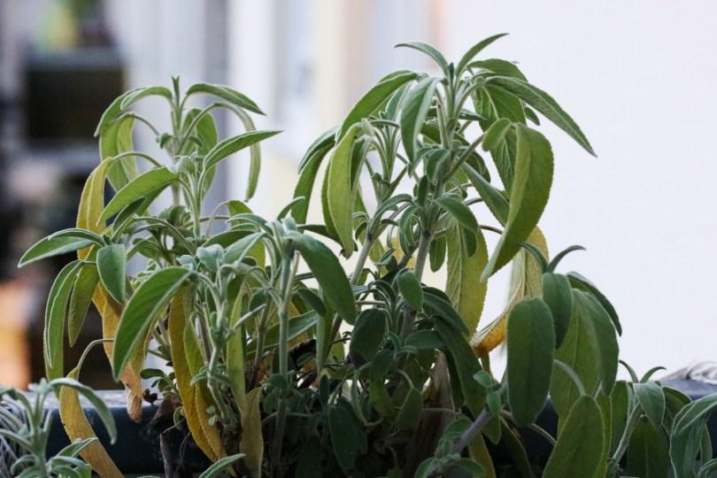 plant aromatique de sauge officinale en pot facile à cultiver sur un balcon, une jardinière ou dans un bacsac dans un jardin citadin