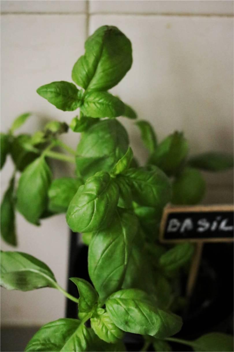 8 choses à savoir pour faire pousser du basilic en pot mon petit