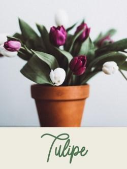 vignette_tulipe