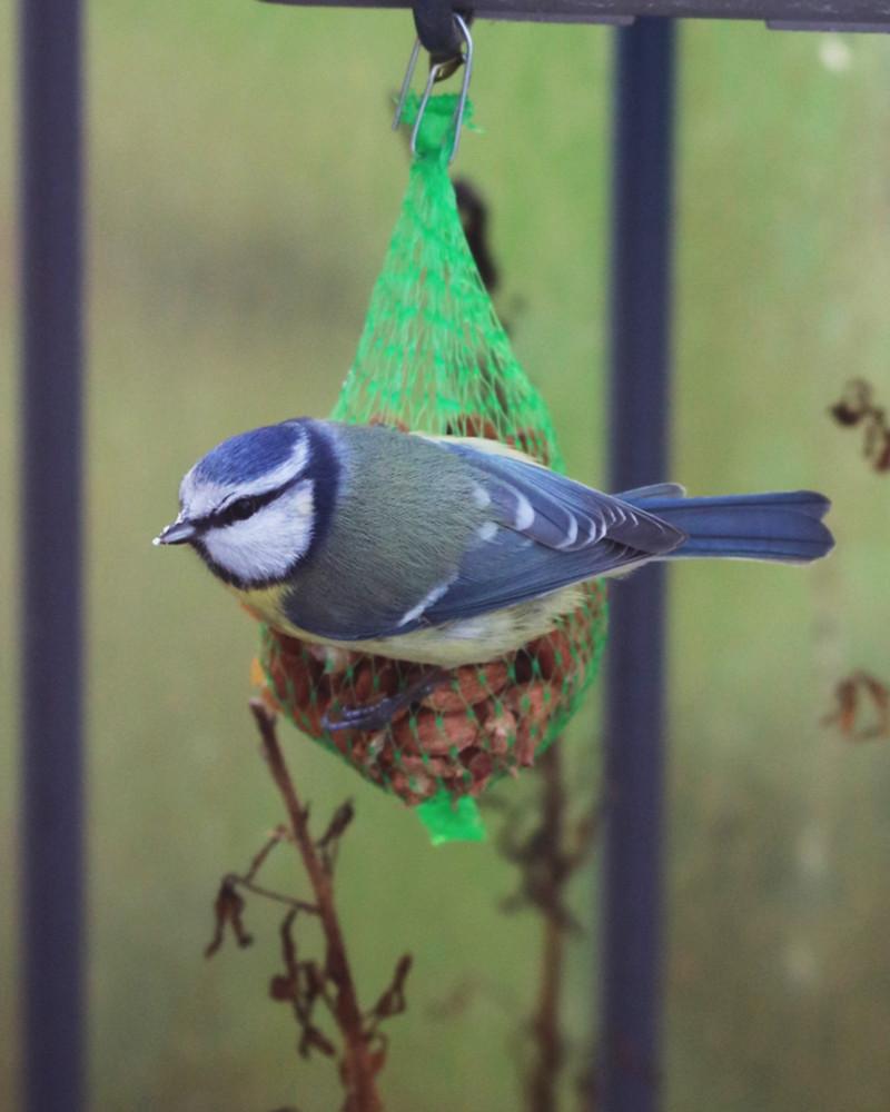 mésange bleue qui mange un graine d'arachide dans un filet vert, avec des miettes sur le bec. Filet accroché à une jardinière grise sur un balcon potager en ville.