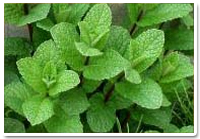 http://i2.wp.com/montrouchorganic.com/wp-content/uploads/2015/01/bergamot-mint.jpg?resize=200%2C139