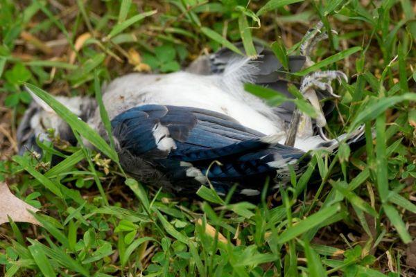 Dead Blue Jay