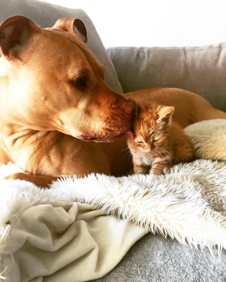 dog-likes-cats-ginger-pit-bull-bubba-loves-rue-7
