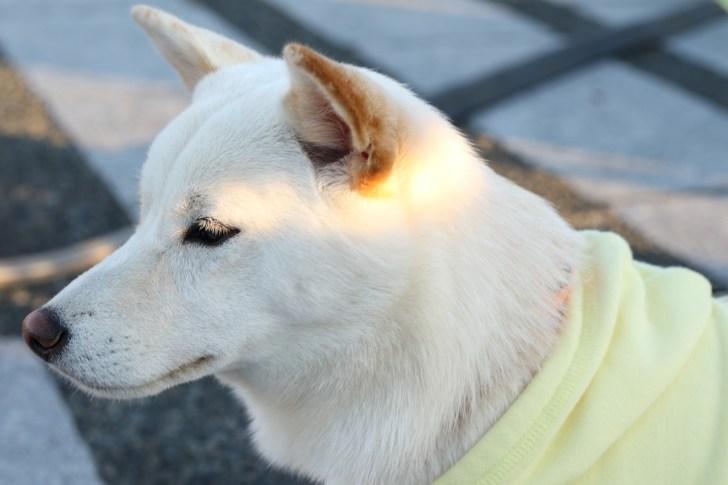 モラキジドッグ 柴犬