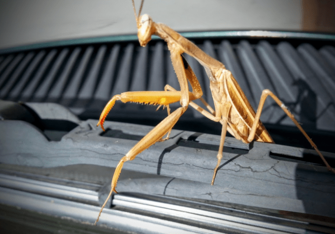 praying-mantis-on-van
