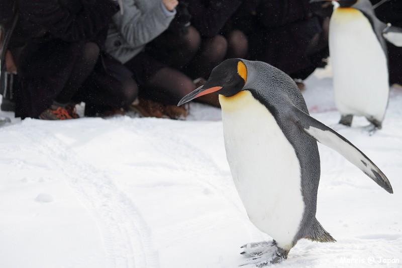 旭山动物园看企鹅散步