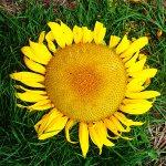 IMG_1390-sunflower