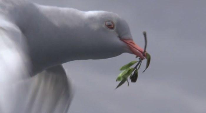 dove-noah