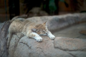 Sand Cat at El Paso Zoo