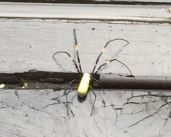 sun moon lake spider