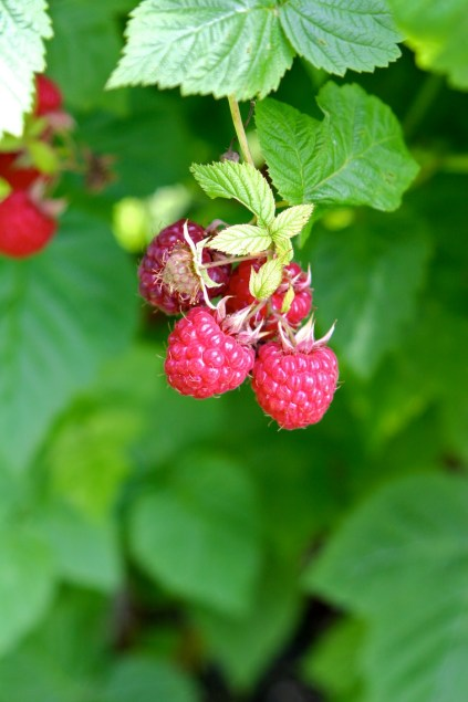 ironwood farm raspberries